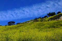 Ravens Over the Superbloom (Zeetz Jones) Tags: superbloom wildflowers nature ranchopalosverdes portuguesebendreserve superbloom2017 rollinghills southerncalifornia