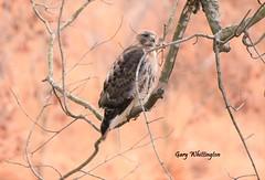 Hawk_4653 (Porch Dog) Tags: 2017 garywhittington kentucky nikond750 fx nikon200500 january winter outandabout hawk avian bird feathers wildlife nature