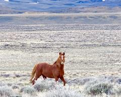 Fire (prairiegirrl) Tags: stallion wildhorses mustang wildlife stewartcreekhma wyoming