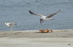 Seagull (stuartcroy) Tags: orkney island sealife sea seagull seascape seagulls bird
