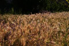 Burst of Cat's Tails (Zeetz Jones) Tags: superbloom wildflowers nature ranchopalosverdes portuguesebendreserve superbloom2017 rollinghills southerncalifornia