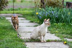 Overtaking bengal cat version (tamásruzsovits) Tags: overtaking bengal cat cute outdoor