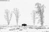 American Bison in Lamar Valley (Max Waugh Photography) Tags: americanbison bisonbison buffalo yellowstonenationalpark lamarvalley trees cottonwoods snowy nature wildlife animal mammal ungulate maxwaugh