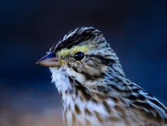 Savannah Sparrow Close-up (George McHenry Photography) Tags: savannahsparrow sparrow birds southcarolinabirds southcarolina
