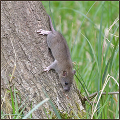 Tree Rats (image 2 of 2) (Full Moon Images) Tags: wicken fen nt national trust wildlife nature reserve cambridgeshire animal mammal brown rat