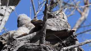 Great Horned Owls Video2