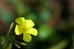 Yellow petals (Rico the noob) Tags: dof bokeh published 2017 macro outdoor closeup nature flower floral 70200mm 70200mmf28 madeira blossom d500 calyx
