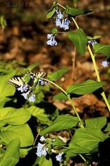 Butterflies and Bluebells (jmhutnik) Tags: virginiabluebells easterntigerswallowtail butterfly wildflowers westvirginia kanawhastateforest forest woods april spring