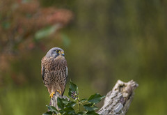 Falco tinnunculus,Common kestrel (y.mihov, Big Thanks for more than a million views) Tags: falcotinnunculus commonkestrel bird animals sonyalpha feathers fur falcons reading trespass trees europe englanduk england leaves