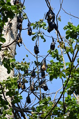 DSC (880) (wanderamore) Tags: srilanka botanicalgardens peradeniya flyingfox