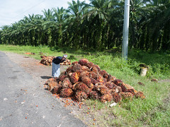 Palm oil (jwbwel) Tags: papua new guinea png thelastfrontier pacific pacificisland tropical