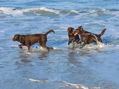 Family reunion (TonyinAus) Tags: labrador dogs