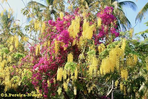 Golden Shower Tree & Bougainvillea & Coconut, El Salvador