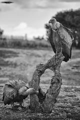 Jerarquía? (rafagomezz) Tags: buitreleonado vulture carroñada birdwatching birds birding rapaces raptors carroñeras nikon bn naturaleza nature wildlife aves
