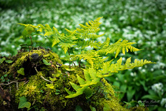 Young Ferns (mveskilt) Tags: nature naturephotography spring plants flora springplants outdoors outdoorphotography forest photography digitalphotography leaves grass green depthoffield focus bokeh fern ferns wildgarlic garlic stump