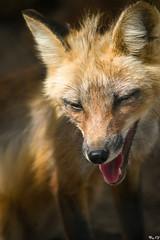 A smile of redhead grace (BogKY) Tags: 2015 июль лето омскаяобласть bogky sonyalpha7ilce7ff tamron75300 rawconvertsoft sonylaea4 resizesoft большеречье сельскийзоопарк ruralzoo большереченскийзоопарк лиса fox природа nature фауна fauna животные анималистика animals грация grace вольерзоопарка july summer westernsiberia tamronaf75300mmf456ldmacro