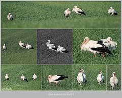 KUSA-1046 (Weinstöckle) Tags: vogel storch