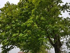 Chestnut tree (Tammy Jackson) Tags: chestnut tree spring