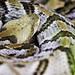 Canebrake Rattlesnake 02 (Crotalus horridus)