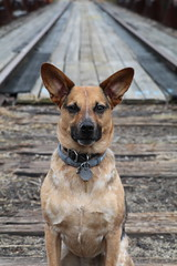 Sweet Basil (hannah ellingwood) Tags: basil dog puppy railroad track walk woods outdoors explore