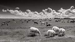 Landelijk (JaapWoets) Tags: koeien stedenendorpen landschap bedrijven agrarisch hippolytushoef noordholland nederland nl