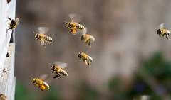 Heimkehr   /   Homecoming (to.wi) Tags: bienen bienenstock nektar pollen sammeln insect insekt towi flug bienenflug