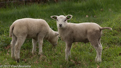 """Easter in Holland""  Lambs in the meadow. (A.J. Boonstra) Tags: sigma18300mmf3563dcmacrooshsmc sigma canon canon70d canoneos lamb holland gelderland easter easter2017"