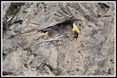 Gypaète 170407-77-RP (paul.vetter) Tags: oiseau ornithologie ornithology faune animal bird gypaètebarbu gypaetusbarbatus bartgeier quebrantahuesos beardedvulture vautour rapace