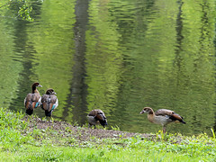 (Floramon) Tags: bird vogel nilgans natur nature landscape landschaft wasser enz water green grün reflexion reflection