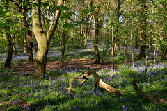 Bluebell wood (PentlandPirate of the North) Tags: lawtonwood scholargreen cheshire bluebells woods trees natural wild flowers