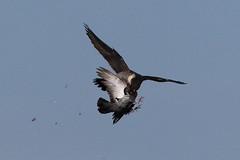 Peregrine Sequence (1 of 4) (Robin M Morrison) Tags: peregrinefalcon avon gorge bristol prey pigeon