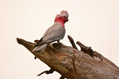 Galah (~Jek~) Tags: aus australia australiancapitalterritory canberra geo:lat=3540626573 geo:lon=14912847161 geotagged macarthur bird galah eolophusroseicapilla australianbird cockatoo