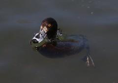 Tufted Duck (F) (kearneyjoe) Tags: tufted duck stjohns newfoundland