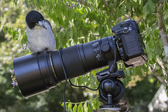 Hmmm how about manual focus? (archie0) Tags: bird camera nikon perch