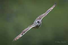 Its behind me (raytaylor77) Tags: bop flight hunting shortearedowl stairring wildlife bird diving feathers nature possing wild wiltshire wings