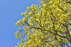 New Spring Leaves (dr_marvel) Tags: tree spring leaves pittsford rochester ny newyork erie eriecanal canal blue sky bluesky yellow green