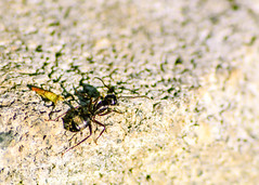 Early Evening Ant (bettyinparis) Tags: bug insect ant macro nature naturalworld texture