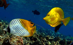 Threadfin Butterflyfish & Yellow Tang (J.Thomas.Barnes) Tags: hawaii underwater fish snorkle tang butterflyfish ngc