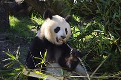 Lunch Time (Txemari Roncero) Tags: oso panda zoo madrid animales animal nikon nikond7000 nikkor55200 txemarironcero