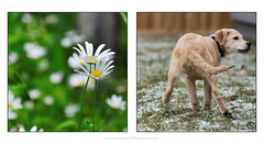 flower butt (Dave (www.thePhotonWhisperer.com)) Tags: kuleshov puppy mutt young youth flower renewal