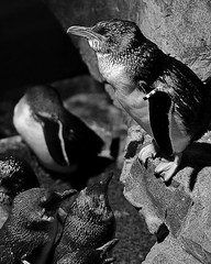 Film Noir Blue Penguins (bamoffitteventphotos) Tags: ifttt instagram worldpenguinday newenglandaquarium neaq boston massachusetts 2010 april blackandwhitephotography blackandwhite bandw bw filmnoir pentaxk7 dramatic