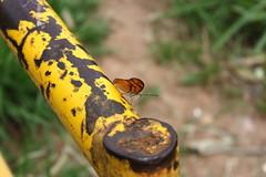Borboleta bairro São João JM - Wir Caetano - 26 04 2017 (5) (dabliê texto imagem - Comunicação Visual e Jorn) Tags: borboleta inseto amarelo escada ferrugem