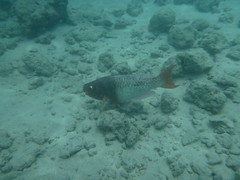 Hanauma-17 (jebigler) Tags: oahu hawaii2017 hanaumabay redlipparrotfish unitedstates hawaii honolulu 7455kalanianaolehighway