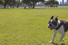 IMG_2215 (ben_king_85) Tags: canon 550d 1635mm frug pug french bulldog south perth