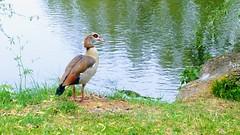 Rencontre insolite au bord de la Moselle, une Ouette d'Égypte (camilleromane1) Tags: france moselle ouette oie egypte animaux oiseau palmipède lg lgg3 portable eau water nature faune flore