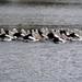 My 'Attenborough' moment (robby.macgillivray) Tags: river murray south australia pelicans feeding explore backwater mannum younghusband pod nikon d7100