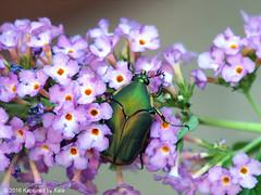 Green June Beetle On Butterfly Bush (Kaptured by Kala) Tags: cotinisnitida greenjunebeetle beetle bug insect iridescent green greenbug garlandtexas shiny closeup buddlejadavidii butterflybush magentabutterflybush magentaflower orangeeyebutterflybush