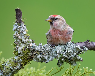 Redpoll (female)
