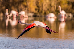 Flamingo (dave_poth) Tags: