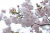 Prunus lannesiana 'Hisakura' (Masaoki Hirai) Tags: trioplanf28100 prunus cerasus rosaceae cherryblossoms